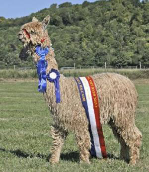 Bartholomew - prizewinning suri at Alpacas of Wales