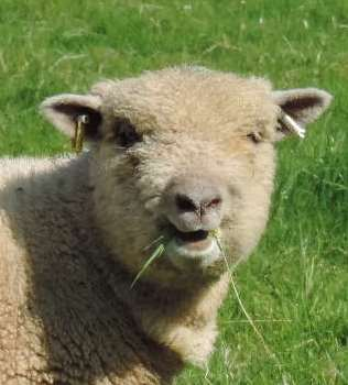 Babydoll Sheep at Alpacas of Wales