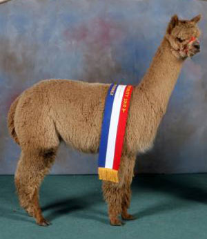 Breeze - prizewinning huacaya at Alpacas of Wales