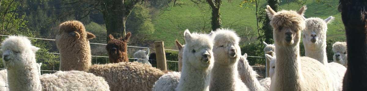 Love Alpacas? Love Alpacas of Wales!