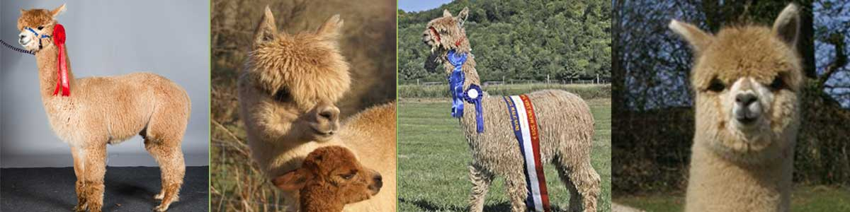 Beautiful Prizewinning Alpacas